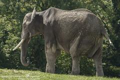 African Elephant (Proper Job Productions) Tags: loxodonta african elephants elephant africanelephant howletts wild animal park howlettswildanimalpark john victor aspinall johnvictoraspinall howlettszoo zoo thejohnaspinallfoundation the foundation conservation