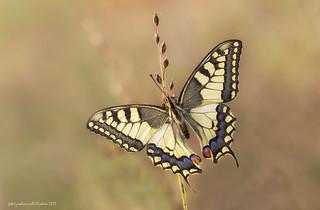 Papilio machaon - Linnaeus 1758 - Explore 3 Settembre 2017