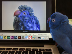 I showed my parrot my parrot (by iPhone) (S♡C) Tags: pet parrot blue indianringneckparrot iphone apple computer flickr