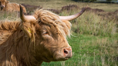 Surveying the land... (Lee Harris Photography) Tags: cow cattle highlandcow animal mammal horns field landscape outdoor nature contrast g80 lens closeup hair livestock grass