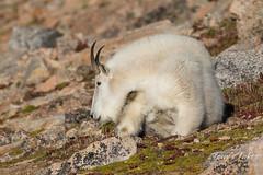 Mountain Goat on the tundra