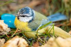 Junge Blaumeise (UsualRedAnt) Tags: berlin deutschland ef100mmf28lmacrois f28 jungtier vogel neukölln 70d meise tier canon singvögel natur blaumeise aves cyanistescaeruleus germany oscines passeri