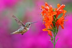 Hummingbird and Tecomaria Capensis (Life of David) Tags: california camarillo canon5dmarkiv selasphorussasin usa wildlife allenshummingbird backyard beautiful beauty bird blooms colorful flower flowers hummingbird nature world100f