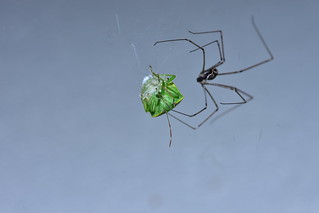 Green Stink Bug and Spider