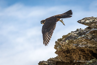 New Zealand Falcon/Karearea- Poolburn Dam, Central Otago