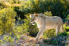 Lioness staring in front of her (markdescande) Tags: africa portrait natural safari east mammal dangerous cat hunter animal female pride majestic king reserve african environment lioness leader carnivore lion male large savanna beautiful predator big endangered nature leo animals background wild wilderness wildlife addo easterncape southafrica zaf