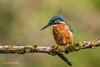 Kingfisher (Alcedo atthis) 750_0796.jpg (Mobile Lynn) Tags: birds kingfisher nature wild aves bird chordata coraciiformes fauna wildlife otterbourne england unitedkingdom gb coth specanimal ngc coth5 sunrays5 npc