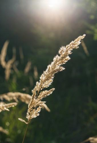 Grashalm im Sonnenlicht