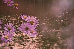 Aster yomena (daniel0027) Tags: asteryomena multipleexposure kalimerisyomenakitam compositae autumnflowers bokeh afternoonsunshine brighten water lakeside lake