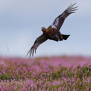 Scotland Bird Hunting 6