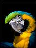Ara ararauna (Matthieu Davoine) Tags: morbihan animal animals animaux perroquet parrot loro papagei nature naturewatcher campagne bzh explored explore explor exposure exposition extérieur electric exterieur paysage fujifilm light ombre ombres bokeh portrait magique shadow flou flouartistique fujinon fuji fujifilmfujinonxf23mmf14r f2fuji lightness lumière lights lumières landshaft wild xt1 xt1hybridereflexsamyangsamyang xt1eauwaternaturenaturelexploredexplorexploreexposureexpositionelectricflouflou b noir