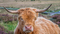 """""""You lookin' at me?"""" (L A H Photography) Tags: cow highlandcow cattle animal horns outdoor nature mammal beauty love peakdistrict heather foliage uk england landscape g80 contrast colourful closeup livestock grass field"""