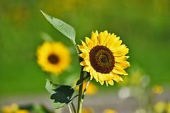 StillLeben (Michael Döring) Tags: gelsenkirchen buer bergersee schlossberge stillleben sonnenblume afs200500mm56e d850 michaeldöring