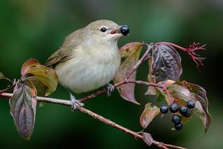 Garden warbler / Gartengrasmücke (Sylvia borin) ( Explored 17.9.2017 )