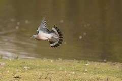 Stock Dove (Columba oenas) (Baldyal) Tags: bird bif wildlife venuspool shropshire