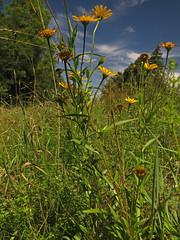 Ox-eye (aniko e) Tags: asteraceae buphthalmum buphtalmumsalicifolium oxeye ochsenauge weidenblättrigesochsenauge ökörszem fűzlevelűökörszem yellow flower wild plant dry meadow chalk siebentischwald augsburg lech germany