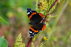 Admiral (In Explore) (Steenjep) Tags: macro flower closeup blomst makro admiral butterfly sommerfugl hodsager
