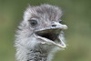 Oi! (Andrew_Leggett) Tags: rhea rheaamericana bird flightless head headshot gape agape surprise wonder startled shocked