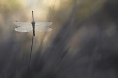 Saut à la perche (donlope1) Tags: macro nature light insect dragonfly libellule wild wildlife wings dew bokeh sunrise sun proxi
