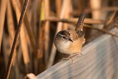 Marsh Wren (NicoleW0000) Tags: marshwren bird birdwatching nature reeds marsh wren wildlife photography ontario