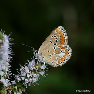 IMG_8863. Brown Argus (Aricia agestis)