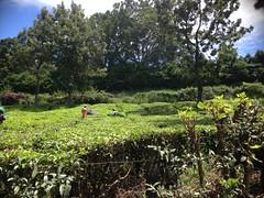 (Alkan de Beaumont Chaglar) Tags: india kochi cochin indian kerala malabar munnar inde indien hindu syrian catholic mattancherry ernakulam tamil nadu kathakali folklore tea plantation ghats alleppey aleppey onam