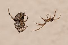 Carefully... (Andrew_Leggett) Tags: spider gardenspider courtship unsafesex macro wild wildlife araneussp danger nature behaviour naturalworld