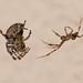 Carefully... (Andrew_Leggett) Tags: spider gardenspider courtship unsafesex macro wild wildlife araneussp danger nature behaviour naturalworld
