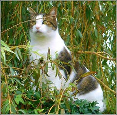Cat in a Willow Tree .. (** Janets Photos **) Tags: uk cats feline pov macro closeups chat