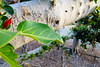 dsc01585 (space lama) Tags: moretonbayfig banyan tree bokeh roots