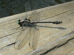 19-08-2017 Huronian - 8 (s.kosoris) Tags: skosoris pentaxoptiowg1 wg1 pentax camp camping huronian dock dragonfly