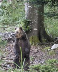 IMG_6705 (Branko.Hlad) Tags: medvedka bears gozd narava živali animals