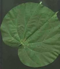 hibiscus.tiliaceus.leaf (dave.kimble) Tags: hibiscustiliaceus coastcottonwood cottonwoodhibiscus hibiscus malvaceae arfp nswrfp qrfp nfrfp lhrfp vrfp littoralarf riparianarf leaf
