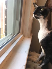 Cassius in window (Boska) Tags: cornishrex rescuecat