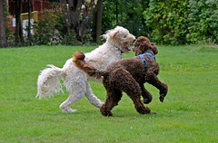 Best friends (Caulker) Tags: labrodoodle poodle friends playing 30072017