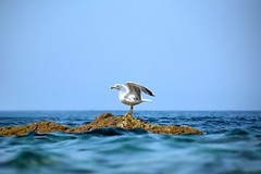 Beautiful background      Seagull (lucamarasca1) Tags: detail colorsofnature horizon wildlife mothernature naturaleza meraviglia sfondo gabbiano seagull sea blue bluesky sky natural nature d5500 nikkor nikon italia italy isola island elbaisland isoladelba background beautiful