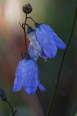 Bluebells/blåklokker (janrs7) Tags: bluebells flower wildflower blue flora august dewdrops drops macro tamron70300mmmacro bokeh blåsippa blåklokke harebell wet closeup