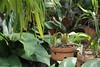 Chironius flavolineatus (klarikris) Tags: cobra snake reptile cobracipó chironiusflavolineatus culebra schlange serpiente orquideas