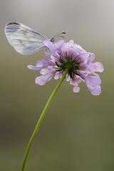 Weissling (HelmiGloor) Tags: weissling tagfalter schmetterling butterfly makro macro wildlife