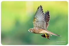 Kestrel (Bolton Wildlife Photography) Tags: kestrel horwichmoors bird animal wildlife nature flying uk british bolton bwp