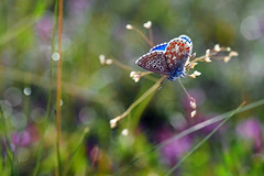 Summer dreams (ej - photography) Tags: macro butterfly schmetterling summer sommer juli july 2017 makro olympus omd em5markii mzuiko schweiz suisse svizzera switzerland outdoor nature natur blumenwiese bokeh meadow flowers blumen m60mmf28