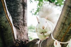 White squirrel (Lee Chu) Tags: project365 sel35f18 sonynex6 whitesquirrel trinitybellwoodspark toronto ontario canada wildlife animal