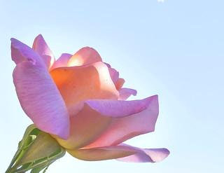 Rose, Pink, Blaye, FR.