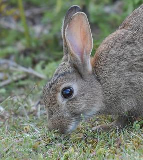 Grazing Rabbit