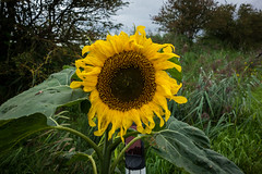 Sunflower (paul_taberner_photography) Tags: sunflower glasson flowercloseups flowers