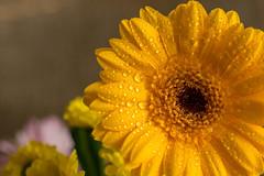 (ChicqueeCat) Tags: flower macro closeup nikon d3300 40mm natural light window stilllife tabletop