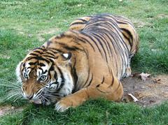 Tigre-de-Samatra (Marina CRibeiro) Tags: portugal lisboa lisbon zoo tigre tiger felino feline animal bigcat