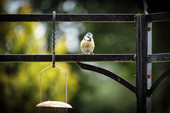 Little Tit (jayneboo) Tags: 365 tit bird feeders garden home