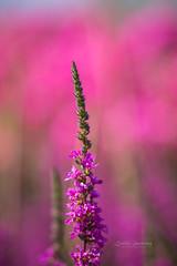 Pink (CecilieSonstebyPhotography) Tags: bokeh markiii oslo flowers pink flower july summer canon closeup canon5dmarkiii 135mmf18dghsmart017 ngc npc