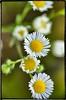 German Chamomile (Steve4343) Tags: nikon d70s d70 flowers german chamomile yellow white green fantasticflower steve4343